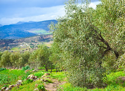 andalusian olive grove